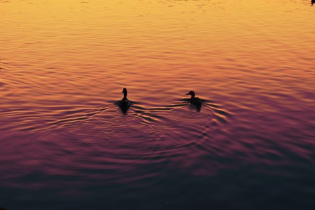 ducks_sunsetfilter