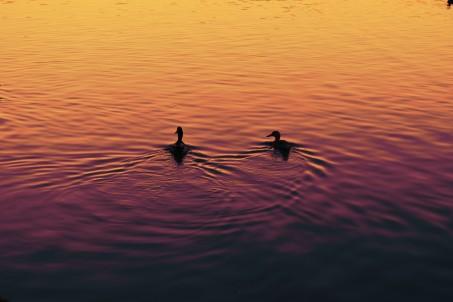 ducks_sunsetfilter